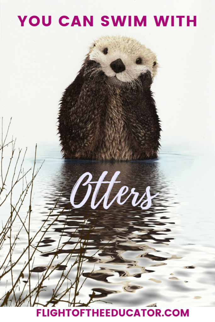 Is it on your bucket list to swim with otters? No need to go all the way to California, you can swim with them right here in Georgia! Check out how you can play in a water pool with these cute otters! #georgia #otters #swimwithotters