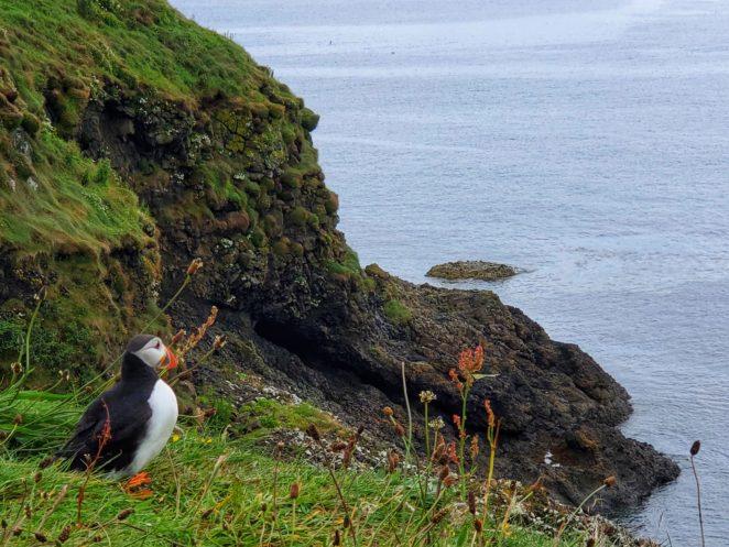 Isle of mull puffins