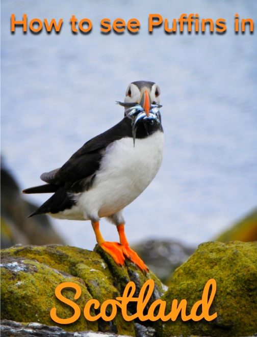 You know about the highland cows, but did you know that Scotland also has puffins? You can take a boat tour that takes you to see the puffins and an island with basalt columns like the Giant's Causeway! #Scotland #Puffins #Wildlife