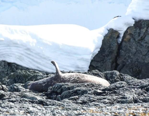 seal waving hello in antarctica